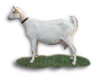 chèvre Saanen A547