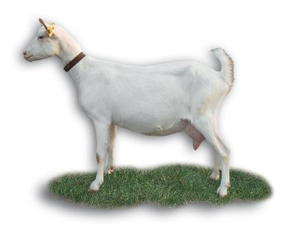Chèvre Saanen (Capgenes)
