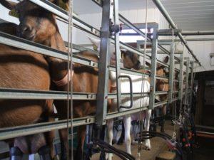 Chèvres à la traite