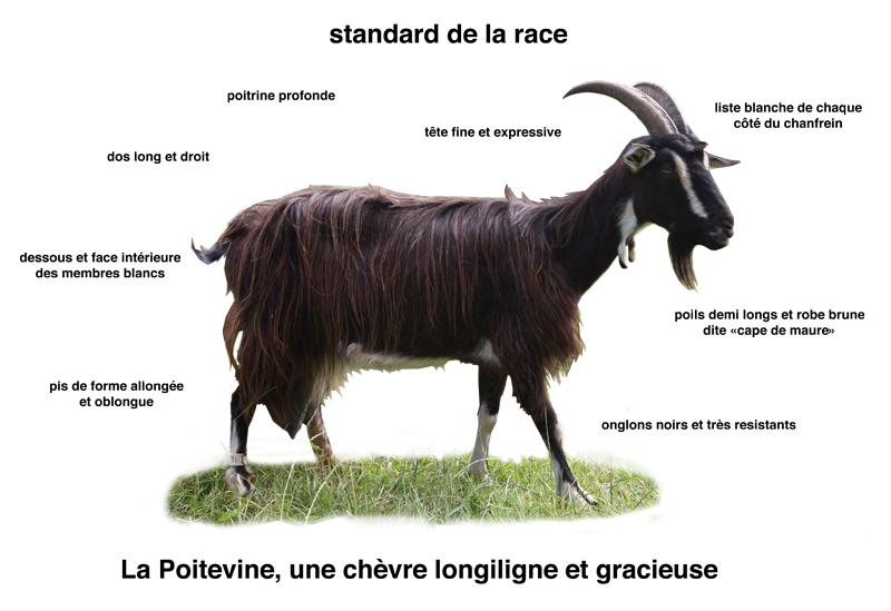 Standard de la race chèvre Poitevine