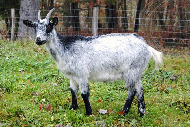 Chèvre de Lorraine