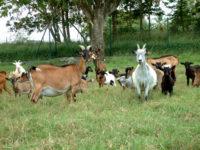 Troupeau de Chèvres Créoles avec chevreaux