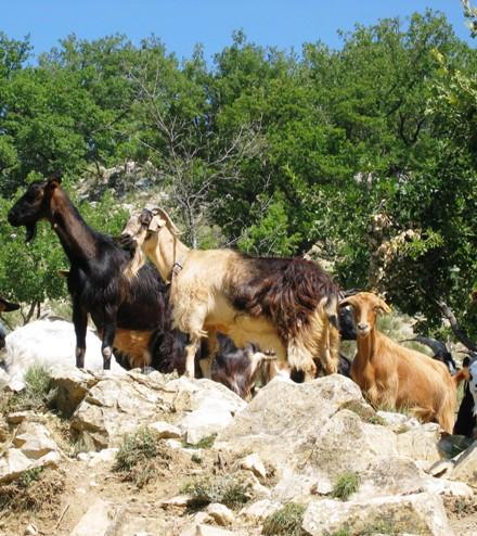 La chèvre Provençale