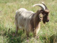 La chèvre Des Pyrénées